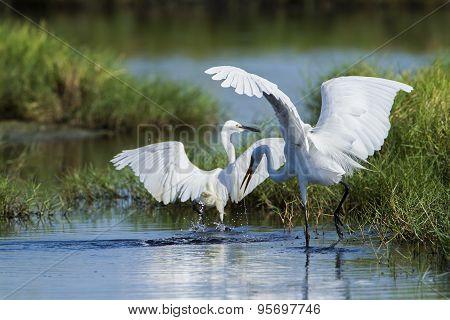 Great Egret And Little Egret In Potuvil, Sri Lanka.