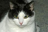 black and white cat staring straight ahead poster