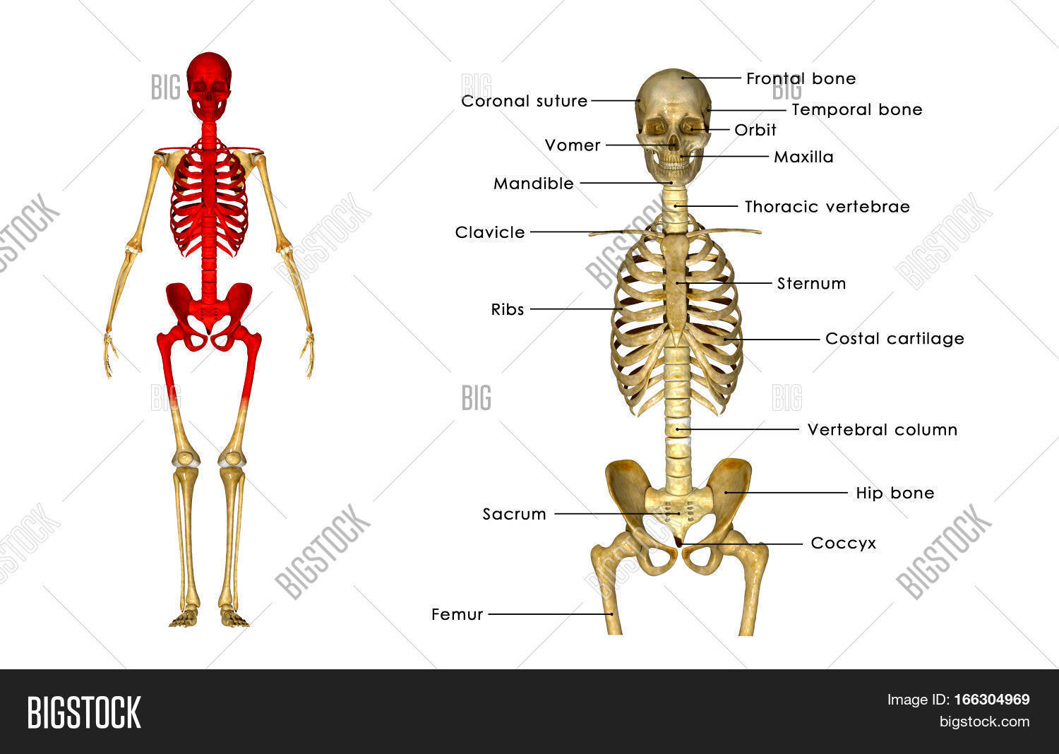 Spinal Cord, Extension Image & Photo (Free Trial) | Bigstock