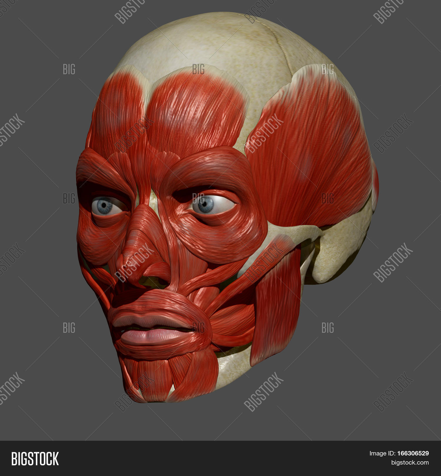 Facial Muscles Group Image Photo Free Trial Bigstock