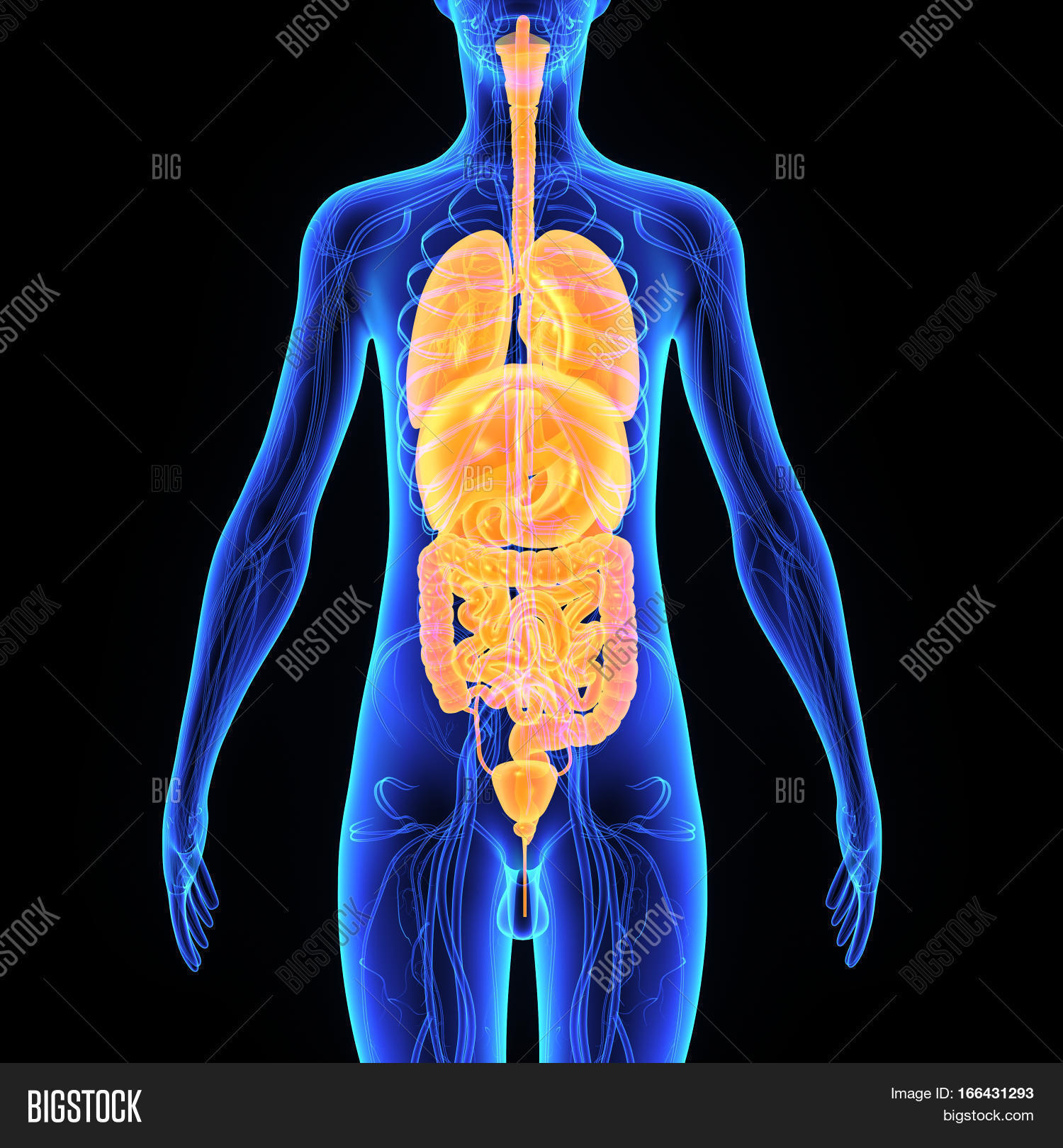 Two More Organs Image & Photo (Free Trial) | Bigstock