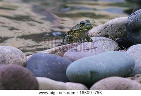 Green Bullfrog Resting on Rock With Water in Background