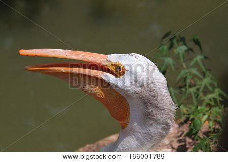 Extreme Close-up of White Pelican with Orange Beak with Water in Background
