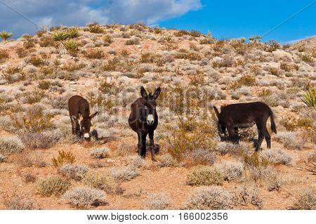 Wild Burros in Desert of Nevada USA