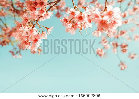 beautiful vintage sakura flower (cherry blossom) in spring. vintage color tone