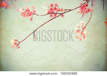 Vintage paper postcard - beautiful sakura tree flower (cherry blossom) in spring. vintage color tone style.