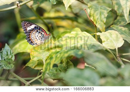 Female Leopard Lacewing (cethosia Cyane Euanthes) Butterfly Hanging On Plant