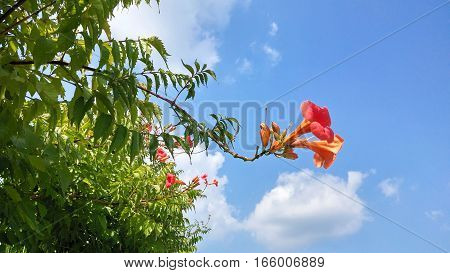 Beautiful pink Bougainvillea Glabra blossoming in the spring with the blue sky in Brazil. Show of nature revealing the renewal and joy of spring and summer.