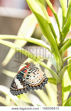 Female Leopard Lacewing (cethosia Cyane Euanthes) Butterfly Hanging Under Plant