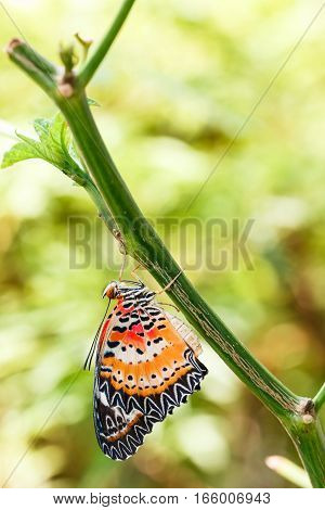 Male Leopard Lacewing (cethosia Cyane Euanthes) Butterfly Hanging Under Plant