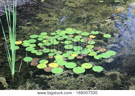 Multiple Lily Pads in a Shallow Pond