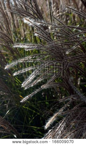 Chinese silver grass (Miscanthus sinensis) grows in Joliet, Illinois during November.