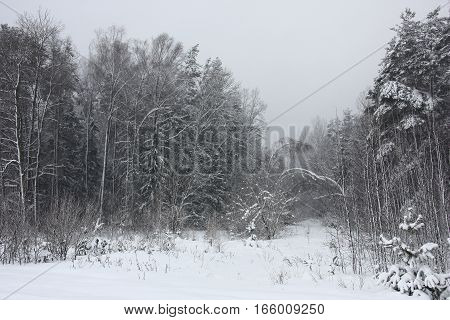 During a snowfall on trees in wood the snow layer lays down. Trees bend under snow.