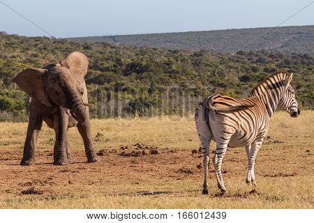 Elephant calf shakes its head at a zebra near a waterhole, Addo Elephant Park, South Africa