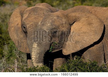 Two African elephants feeding peacefully together at bushy vegetation, South Africa