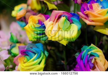 Close up Rainbow Rose Real Flower. Can use for Background Texture or Wallpaper