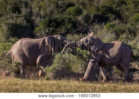 Two young elephant bulls playfully sparring in African bush, South Africa