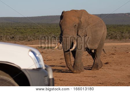 Old female elephant matriarch walks toward a tourist vehicle, South Africa