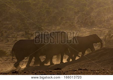 Herd of African elephants walks through dusty bush toward a waterhole, South Africa