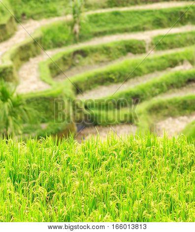 Rice Terraces Of Bali Island, Indonesia