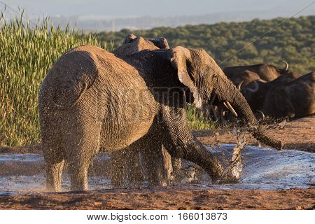 African elephant enjoying its time at a muddy waterhole, South Africa