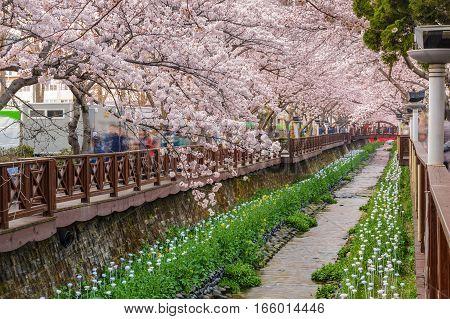 Spring Cherry blossom at Yeojwacheon Stream Jinhae South Korea