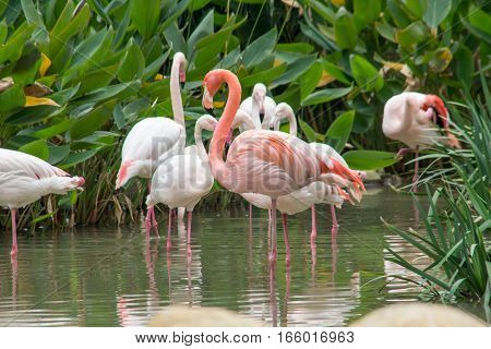 Beautiful flamingos in the water in Macau