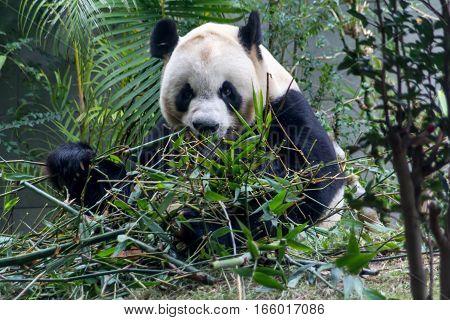 Cute Giant Panda eating bamboo from China