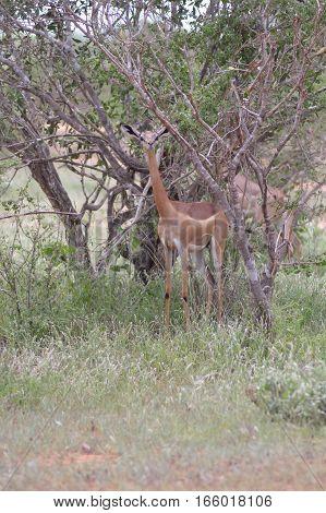 Antelope giraffe isolated in the savanna of tsavo park in Kenya