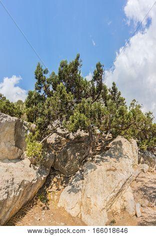 Crimean pine, or Pine of Pallas (lat. Pinus nigra subsp. pallasiana) growing on the rocks