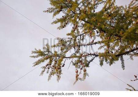 Branch of larch in the evening light
