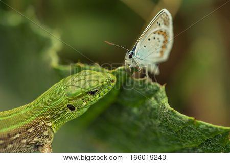 Sand lizard or Lacerta agilis hunting on silver-studded blue or Plebejus argus