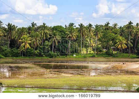 photograph of paddy fields with crops of rice in Sri Lanka