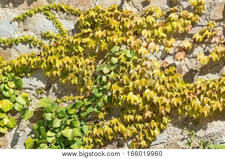 Ivy (lat. Hedera) and Virginia creeper (Parthenocissus quinquefolia) on a stone wall