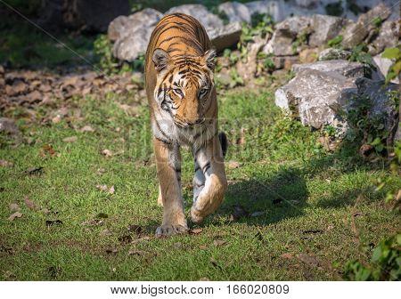 Royal Bengal tiger walk through an open grassland at an animal sanctuary in India.