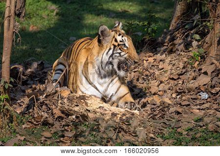Bengal tiger - One of the most beautiful and endangered species in the family of big cats. Photograph shot at an animal and wildlife sanctuary in India.