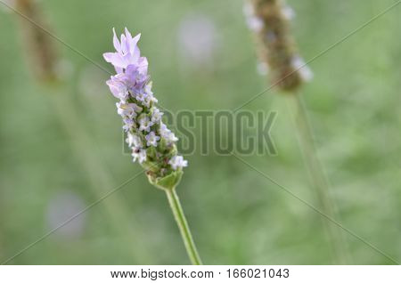 Lavender Flowers In Nature