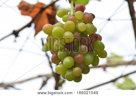 Wne Grapes On Vine