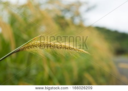a wild Poaceae grass family dancing with the wind