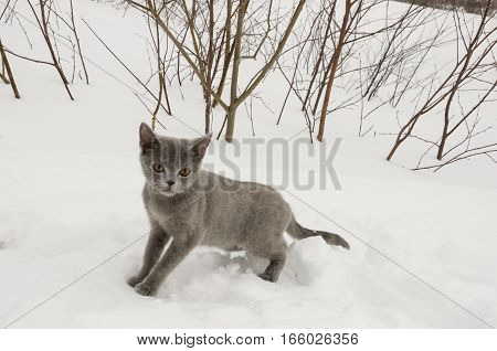 British Shorthair cat is walking and hunting in the winter meadow with white snow