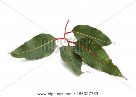 Eucalyptus branch with green leaves on white background