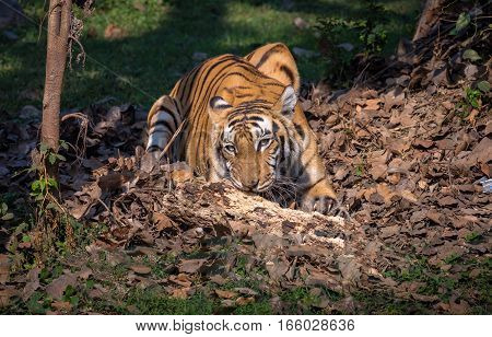 Royal Bengal tiger in a natural habitat at a wildlife sanctuary in India.