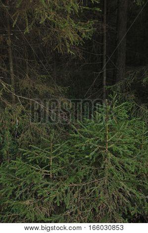 Little Fir Trees