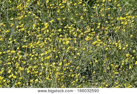 yellow buttercup in ameadow near my house
