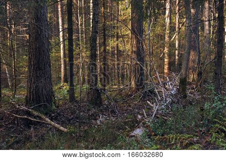 Landscape. Trees deep in the taiga forest.