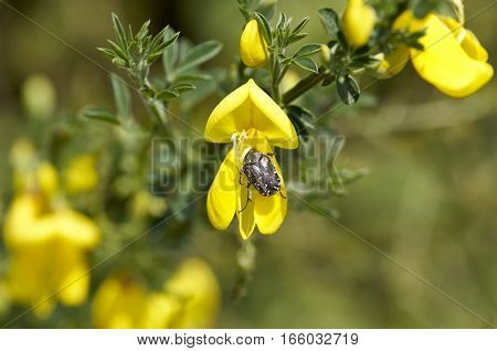 Oxythyrea funesta on top a flower in a meadow