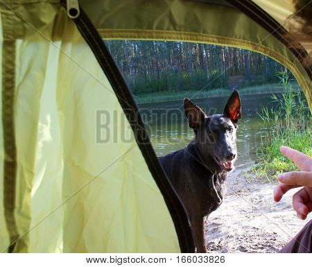 dog ouside a camping tent with the host