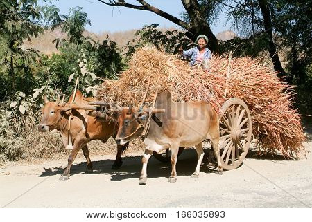 Kalaw Myanmar - 4 March 2010: Framer woman on a wagon full of hay pulled by Ox at Kalaw on Myanmar