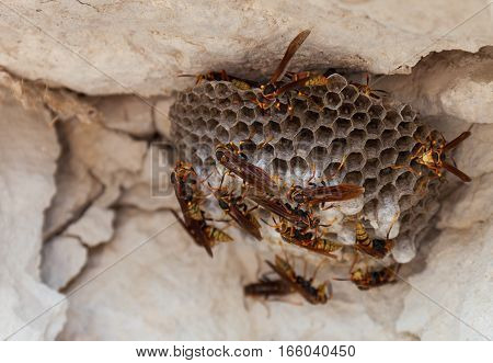 Wasps polist. The nest of a colony of wasps which is taken a close-up. stock photo