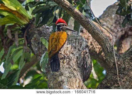 Indian Black-rumped Flameback Woodpecker bird perched vertically on the stem of a tree.
